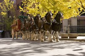 budweiser clydesdales headed to jacksonville for thanksgiving