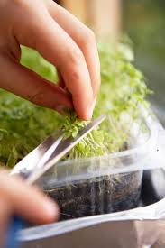 how to grow a watercress container garden hgtv