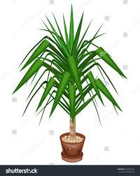 yucca elephant beautiful evergreen plant pot stock vector