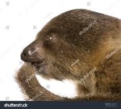 4 toed sloth baby twotoed sloth 4 months choloepus stock photo 22660477
