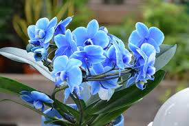 blue orchids free photo flowers orchid orchids blue free image on pixabay