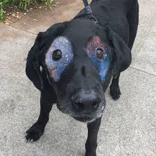 Black Lab Meme - this black lab is slowly turning white so internet responds with