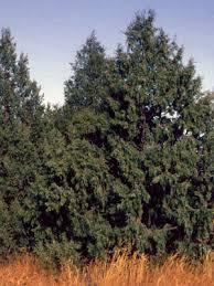 colorado s major tree species colorado state forest service