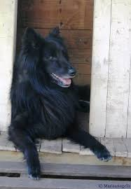 belgian shepherd wolf mix 179 best belgiam shepherd images on pinterest belgian shepherd