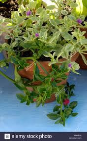 ice planning baby sun rose aptenia cordifolia ice herb aptenia