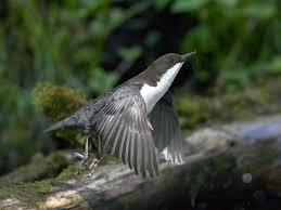 dipper cinclus cinclus birds naturegate
