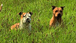 american pit bull terrier zucht american staffordshire terrier informationen zur rasse youtube
