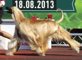 does an afghan hound shed the most popular large dog breeds and how to care for them