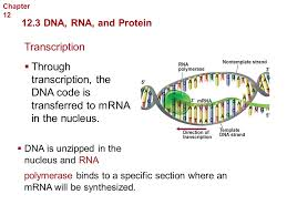 georgia performance standards  ppt download with chapter  molecular genetics  dna rna and protein transcription from slideplayercom