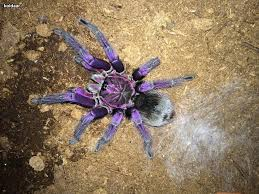 17 Best Images About Spider - phobeteus sp platyomma tarantula tarantulas and spiders