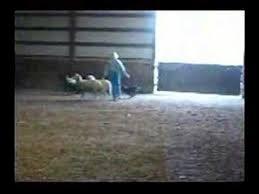 belgian shepherd sydney 4 month old belgian shepherd groenendal herding sheep youtube