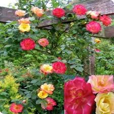 pink climbing roses zone 4 about fragrant climbing rose