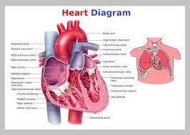 Diagram Heart Anatomy Heart Diagram Heart Diagram Heart Diagram Diagram Chart Diagrams