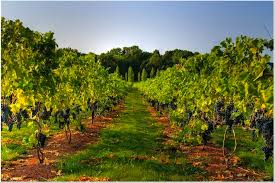 How To Grow Grapes In Your Backyard by What Grape Varietals Grow Best In New Jersey