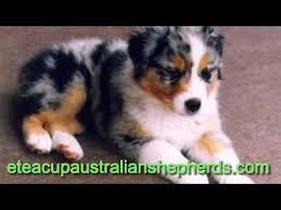 pictures of australian shepherds teacup australian shepherds