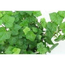 best perennial vine plant for shaded trellis the home depot