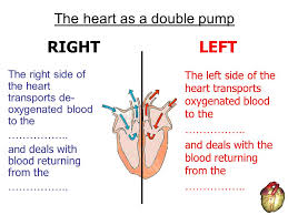 the cardiovascular system ppt download