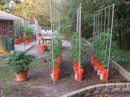 growing tomatoes in buckets indeterminate tomato advice needed