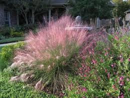 gulf muhly muhly grass florida muhly grass gulf muhly