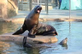 23 year old sea lion dies at tulsa zoo metro u0026 region
