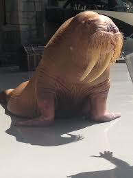 the brutal moment this desperately sick walrus can u0027t stay upright