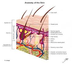 pilonidal cyst histology skin anatomy and wound healing step2 3 dermatology step 2 u0026 3