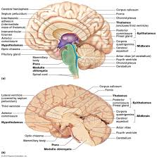 photos diagram of the brain labeled human anatomy diagram