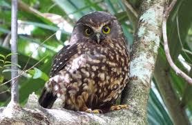 morepork ruru new zealand native land birds