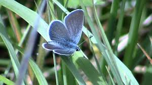 the small blue butterfly