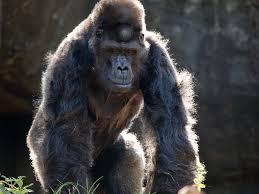 Gorilla by Ivan Zoo Atlanta