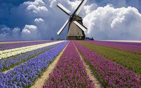 netherlands tulip fields wallpaper huge windmill holland tulip