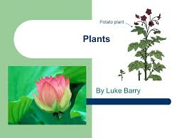 plants by luke barry potato plant what i am finding out u2026 how