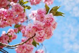 blossom trees cherry blossom trees spring up keil tree experts inc