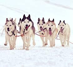 15 best Dog Sledding in the Yukon images on Pinterest