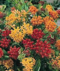 butterfly flowers butterfly seeds asclepias perennial flower seeds
