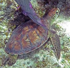 file chelonia mydas green sea turtle san salvador island