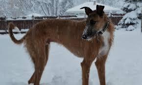 belgian shepherd x greyhound meet maverick the irish wolfhound mix on pack