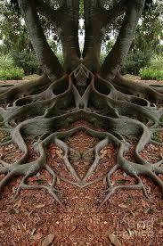 cool trees global puzzle santa barbara california fig tree and santa barbara