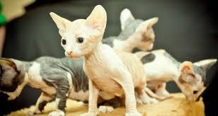 Famosos Gato Sphynx é uma exótica raça de gato sem pêlo - OsPaparazzi @BX66