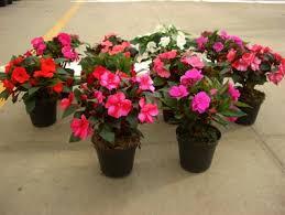 impatiens plants ornamental plants