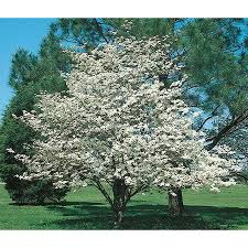white flowering dogwood shop 3 25 gallon white dogwood flowering tree l1053 at lowes