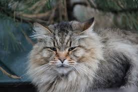 Colorado How To Travel With A Cat images A maine coon cat in eagle colorado the maine coon is a br flickr jpg
