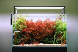 Small Tank Aquascaping Led Buce Plant