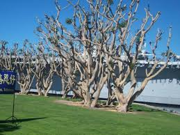 Tree San Diego Trees Given By Australia To San Diego Picture Of Seaport