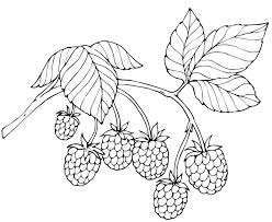 red raspberry fruit coloring page fruits raspberry coloring