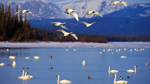 tundra tundra swan