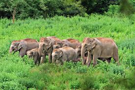 indian elephant wikipedia