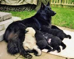belgian sheepdog coat 40 best belgian sheepdog images on pinterest belgian shepherd