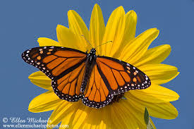 butterfly on sunflower