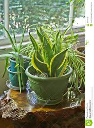 plants for the house house plants growing wild stock photo image of feng 42149762
